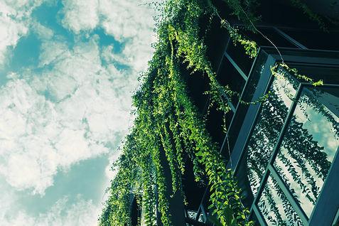 Зеленый плющ с крыши