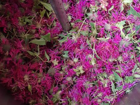 Monarde fistuleuse et la récolte de cette année