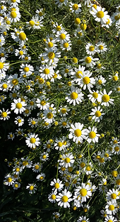 camomille fleur.PNG