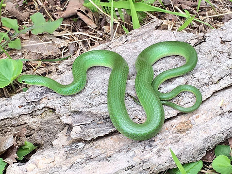 Smooth Green snake (Opheodrys vernalis). Image by Jen Moore.