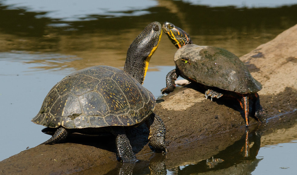 Blanding's turtle & painted turtle basking. By Joshua Mayer (CCBY-SA-2.0)