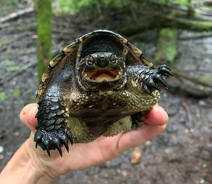 Juvenile Snapping Turtle facing the camera. Photo by Jen Moore