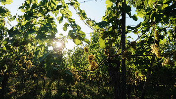 Sunlight into vine.