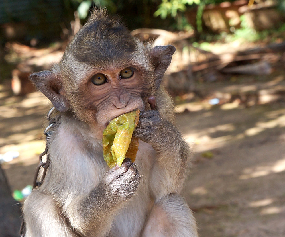 Macaque eating kiwi