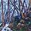 Thumbnail: Snow Gums