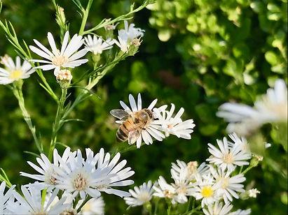fall bee photo credit Ilene-Lelchuk-writer.jpg