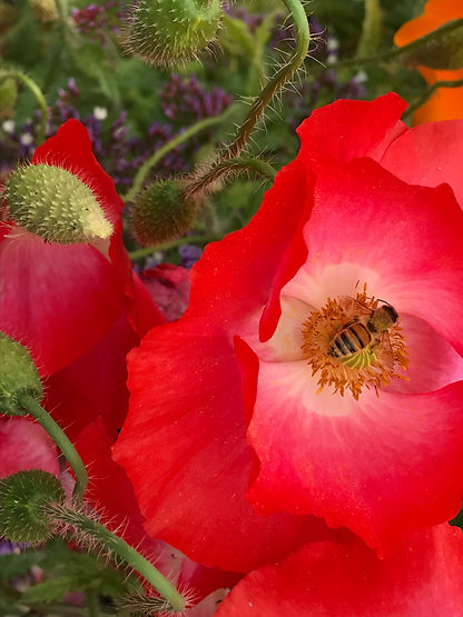 poppy bee photo credit Ilene-Lelchuk-writer.jpg