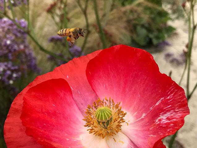loaded bee flight photo credit Ilene-Lelchuk-writer.jpg
