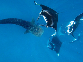 Gentle Giants of Hanifaru Bay