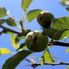 Wierd Fruit