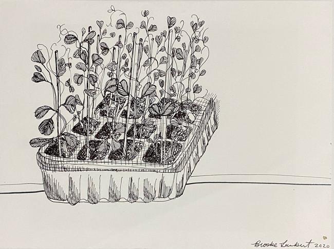 Sugar Snap Pea Seedlings