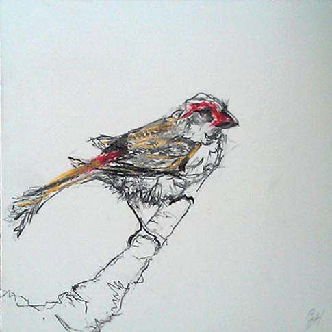 Crimson Browed Finch