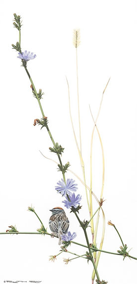 Chipping%20Sparrow_Chicory_edited.jpg
