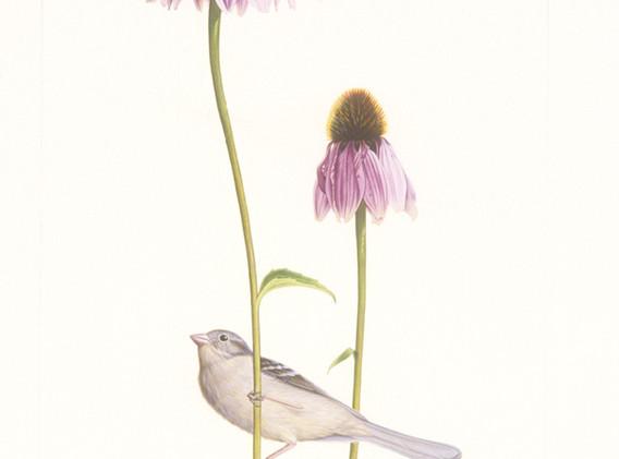Field Sparrow/Purple Cone Flower