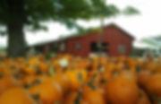 halloween pumkin farm