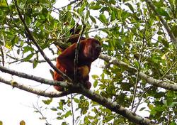 Vřešťan - Monkey