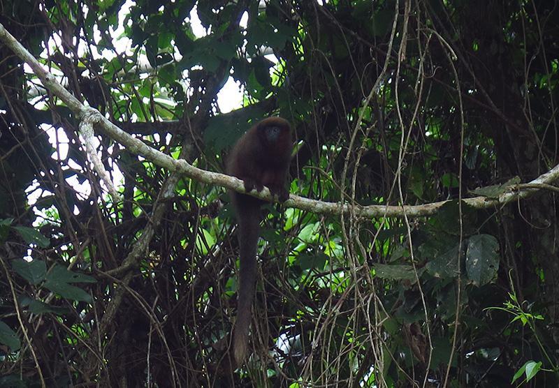 Opička  - Monocoton