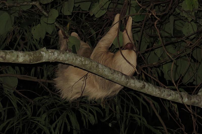 Lenochod tříprstý - Sloth