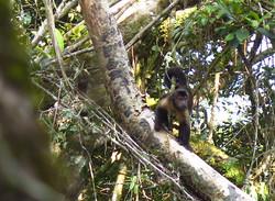 Opička Chápan