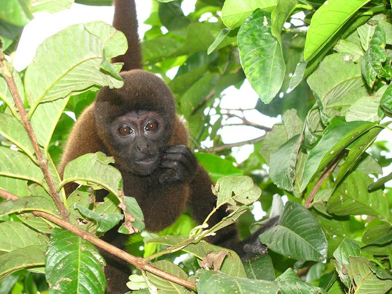 Opička - Monkey