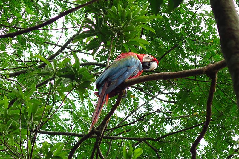 Guacamayo červený - Ara