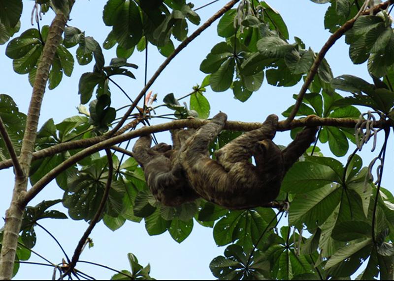 Lenochod - mládě a matka - Sloths fa