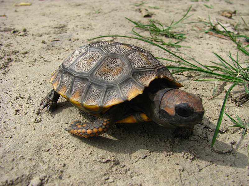 Suchozemská želva - Turtle