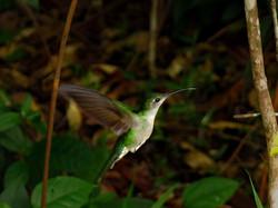 Kolibřík - Humming bird