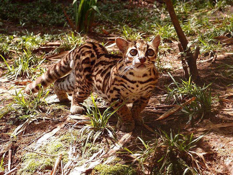 Otorongo Jaguar