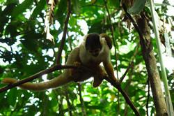 Opička - White monkey