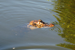 Krokodýl - Aligator