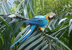 Guacamayo modrožlutý - Ara