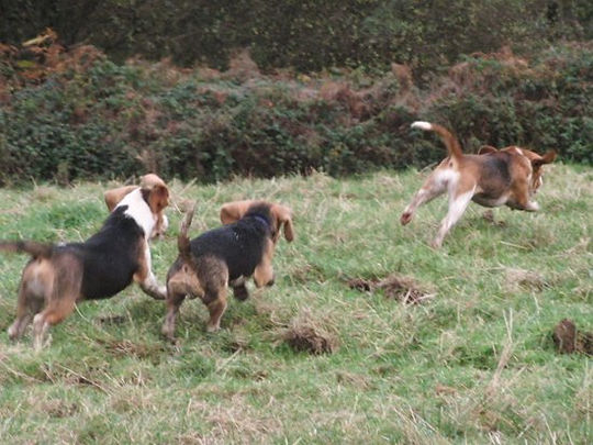 beagle in wales