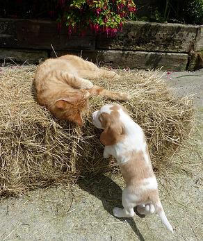 beagle socialisation