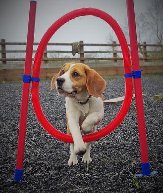 agility beagle