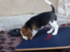 Welsh Beagle Puppy Training