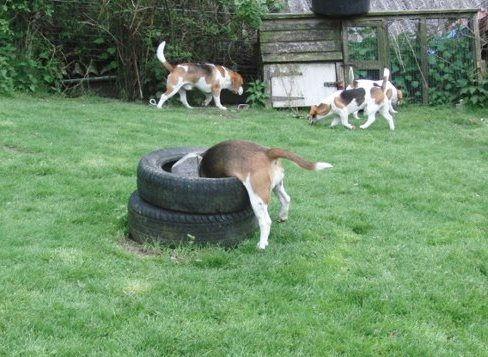 Quality beagles