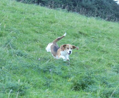 holistic fed beagles puppies