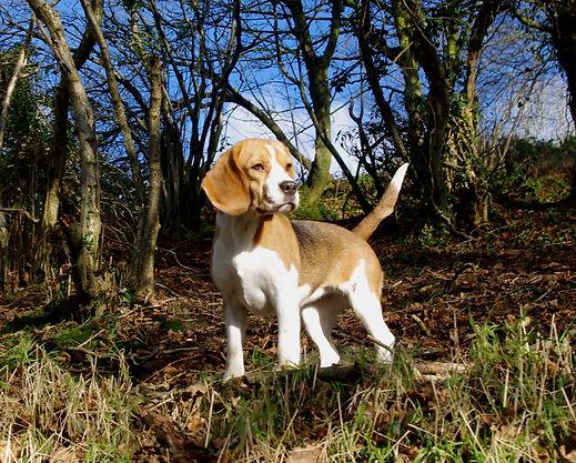 Holistic beagle breeder
