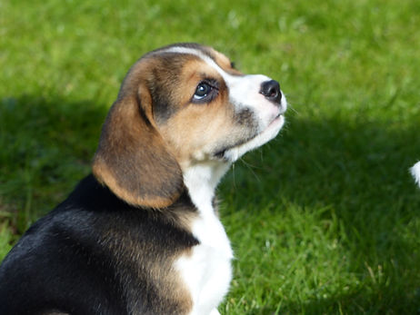 beagle puppies in wales