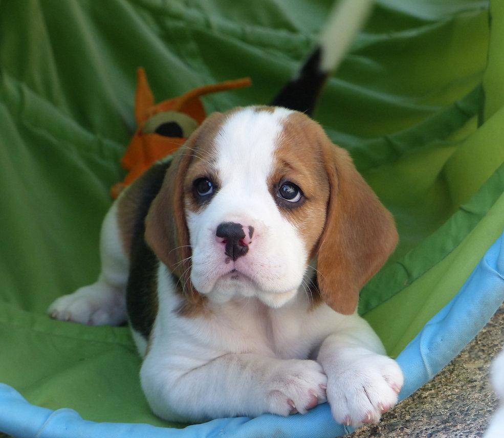 Kennel Club Beagle