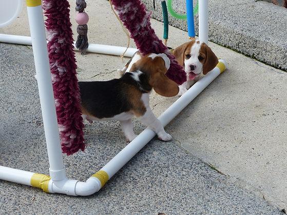 beagle puppies for sale carmarthen