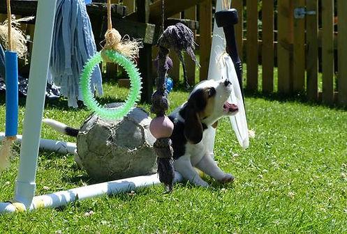 Beagle puppy wales