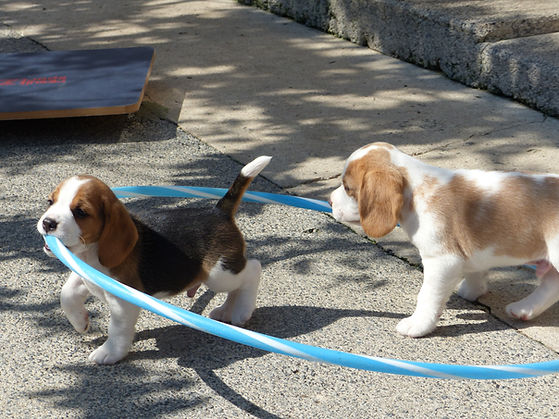 beagle puppies for sale cardiff