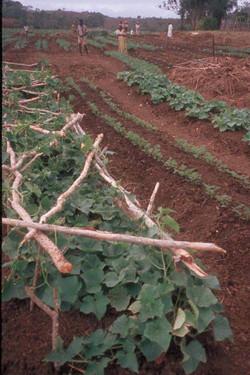 Palissage de concombres