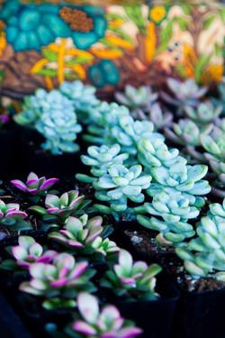 Little 2in Succulents