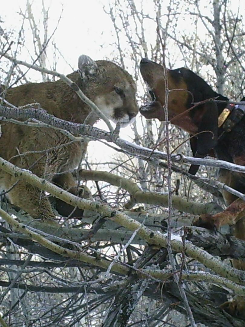 Hound challenges cougar