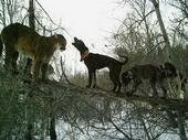 Hounds tree Cougar