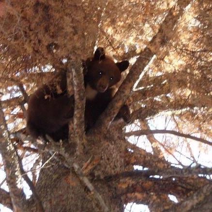 Treed Black Bear
