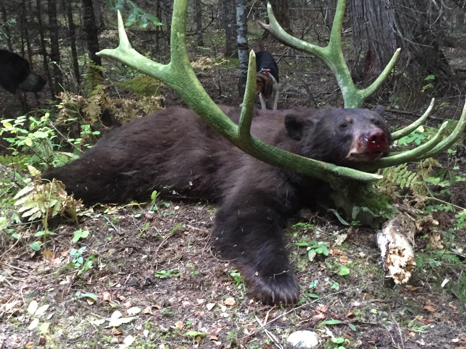 Black bear in elk antlers
